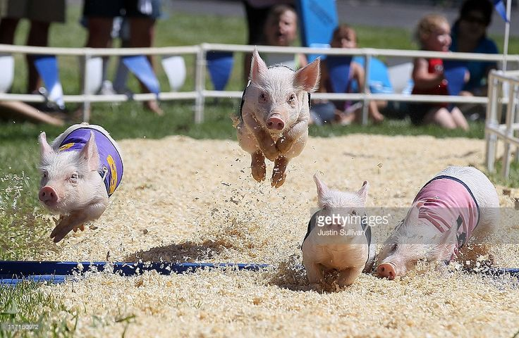 Pigs at a race at the Alameda County Fair on June 23, 2011 in Pleasanton, California.