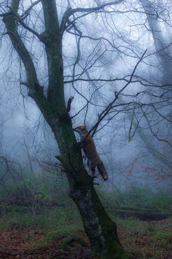 red fox climbing a tree | animal + wildlife photography