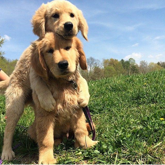 """Sibling love  @theiasagethegolden #goldenretriever #dogsofinstagram #pupsofinstagram #puppies #siblings #adorable #dogs #puppy #dog  Get $15 off…"""