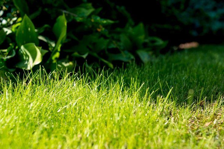 choroby trawnika