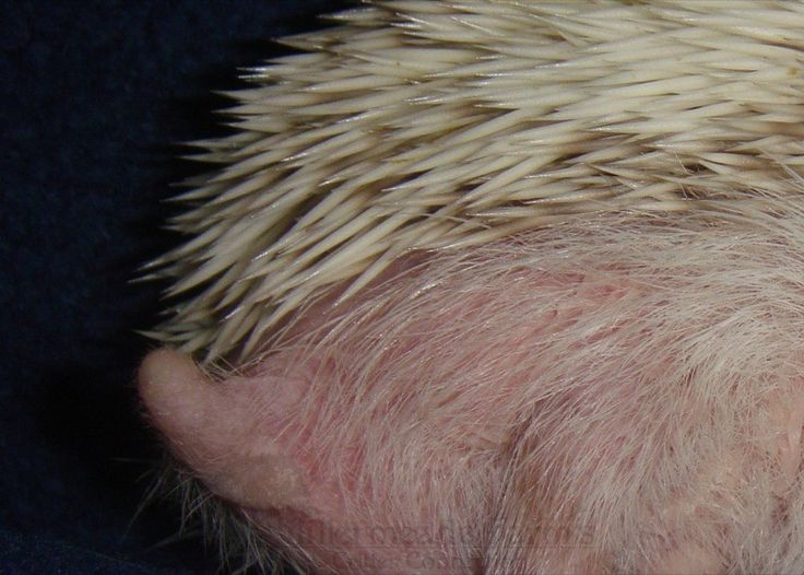 DENTAL Normal hedgehog teeth are white and their gums should be a healthy medium to dark pink in colour. Using hard food as a major portion of the diet is the best prevention, but as the pet ages gum...
