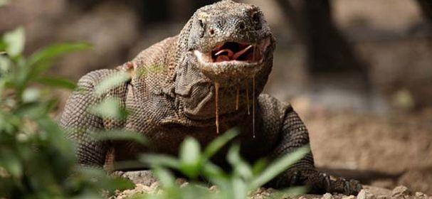 Komodo Dragon Island Open trips #komodoopentrips #komodotours #komodotrips #komodoisland