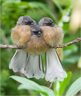 3 fantail snuggled together