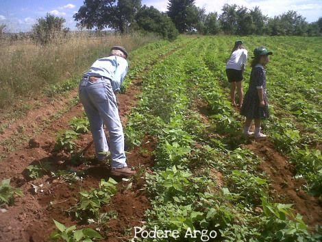 Cultivating #organic #beans #maremma #tuscany