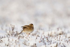 A meadow pipit in the snow in England