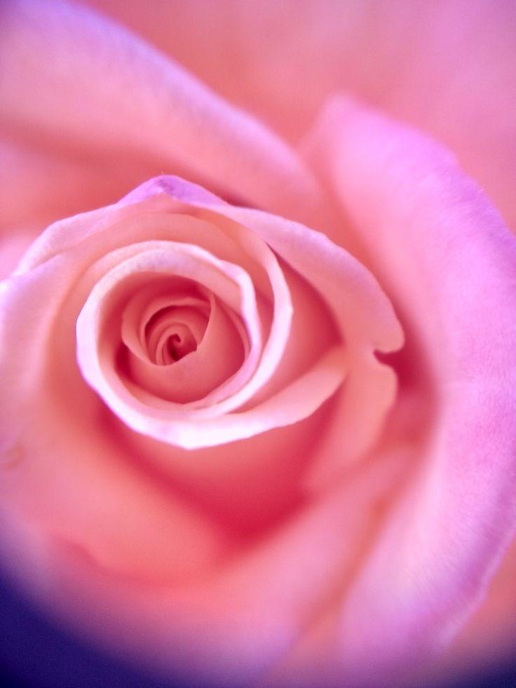 Precioso detalle de rosa en primavera