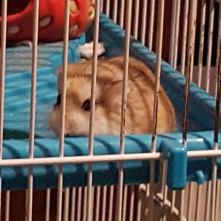 My lovely little #hamster #Pancake