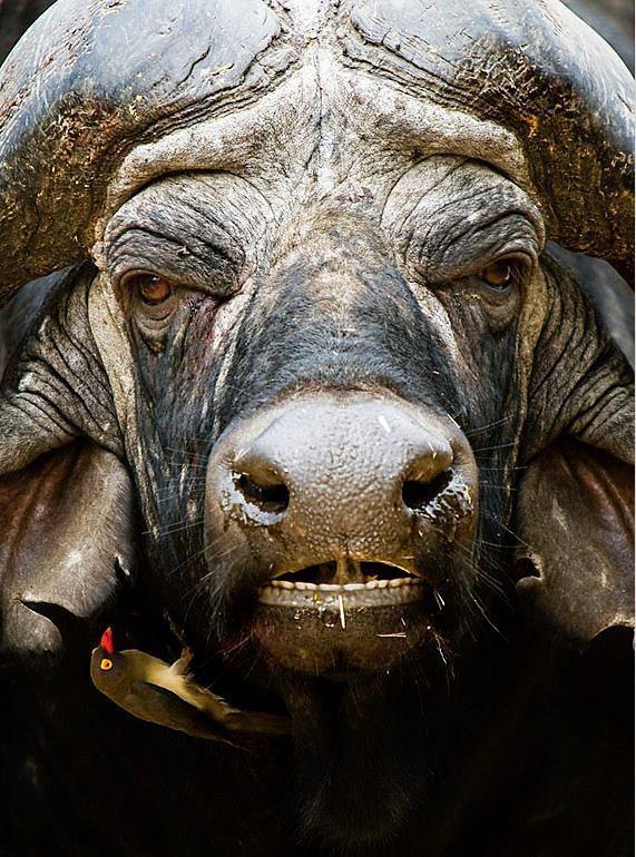 Black death or African buffalo