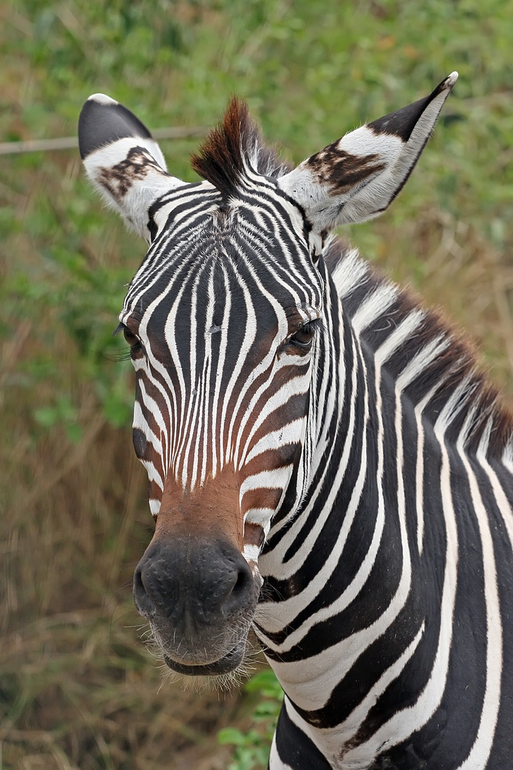Baby zebra face