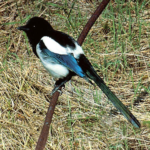 Elster In 2021 Elster Vogel Vogel Vogelkunde
