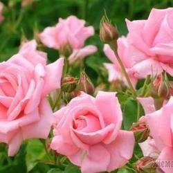 Мучнистая роса на розах, как бороться