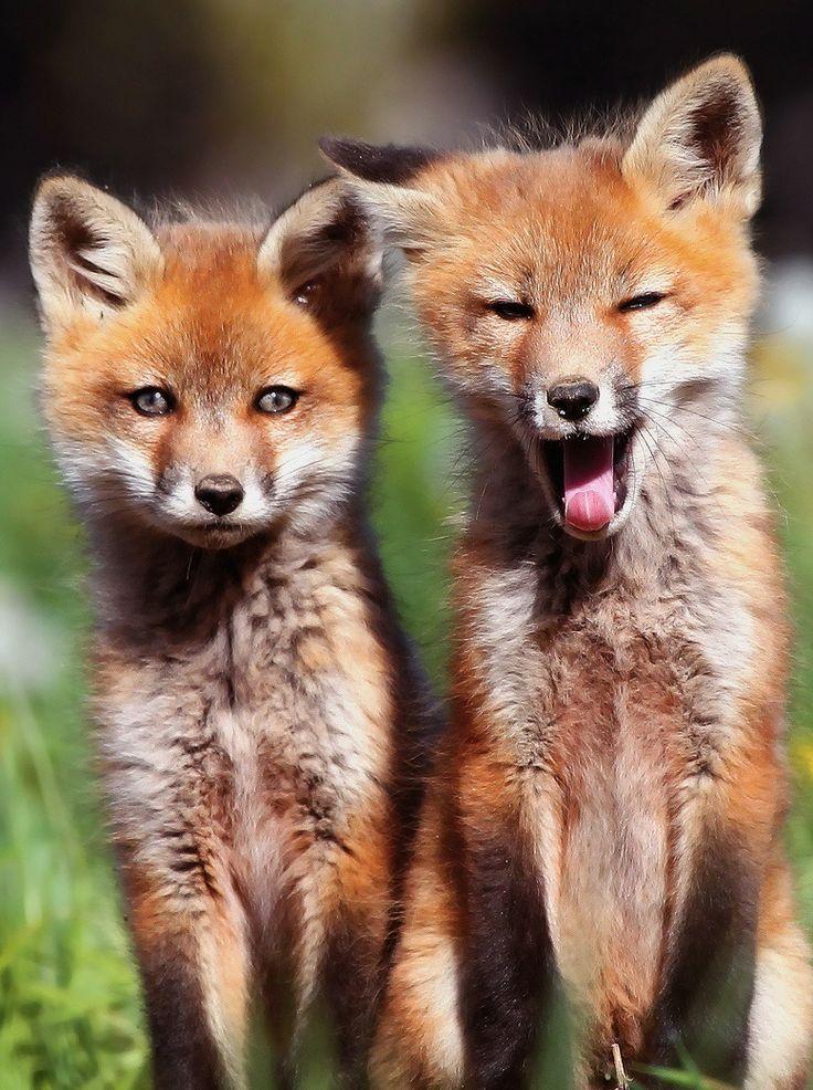 Red Fox Cubs   Wallpaper