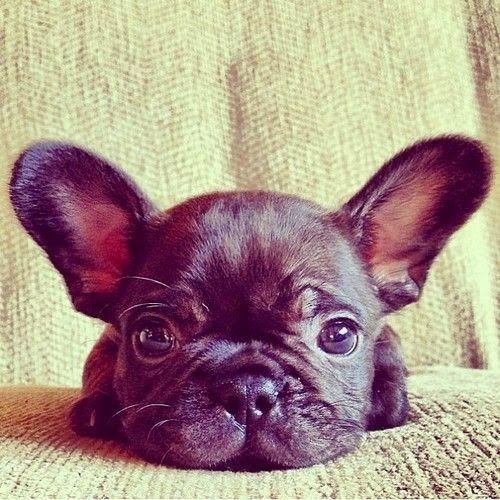 Funny animal pictures of pug puppy looking into camera ...
