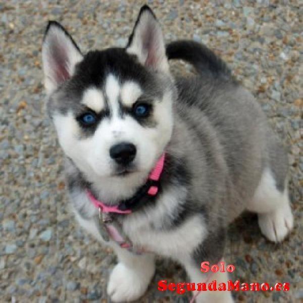 Regalo Husky Siberiano Cachorros Para Su Adopcion Husky Siberiano Perro Husky Siberiano Perro Husky