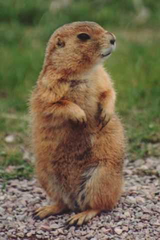 I love prairie dogs! They are so cute!