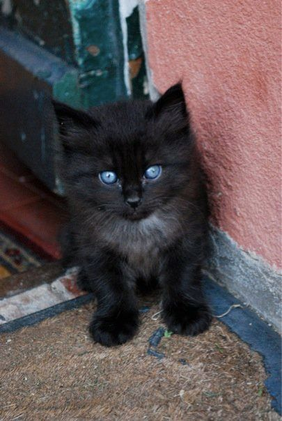 Fluffy Black Kittens With Blue Eyes Best 25+ Black kittens...