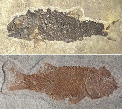 A specimen of the newly identified fossil species Ticinolepis crassidens (above) and of the species Ticinolepis longaeva. Credit: Adriana López-Arbarello