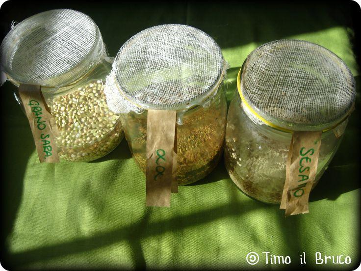 Germogli: ravanelli e lenticchie