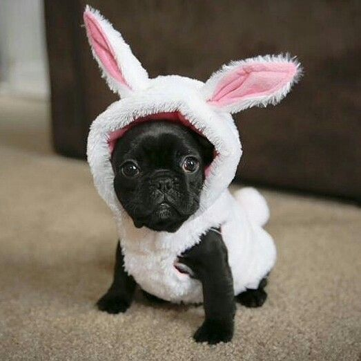 easter costume black pugletpug puppy bunny costume