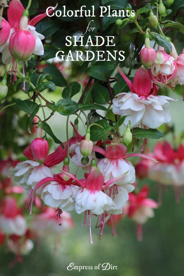 Growing in a shade garden does not mean you have to give up colour. There are many plants with colourful flowers and foliage that can light up even the darkest corner of the garden.