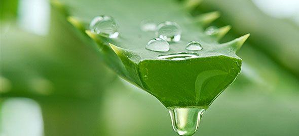 Χρησιμοποιήστε το τζελ από ένα φύλλο αλόης για να επανορθώσετε το πολύ ξηρό δέρμα. Για να αφαιρέσετε το τζελ από ένα φύλλο αλόης, θα πρέπει να το καθαρίσετε από το πράσινο «δέρμα» που έχει γ…