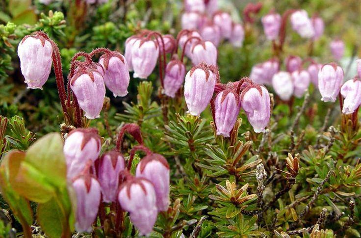 Norway. Bergheide, Phyllodoce caerulea