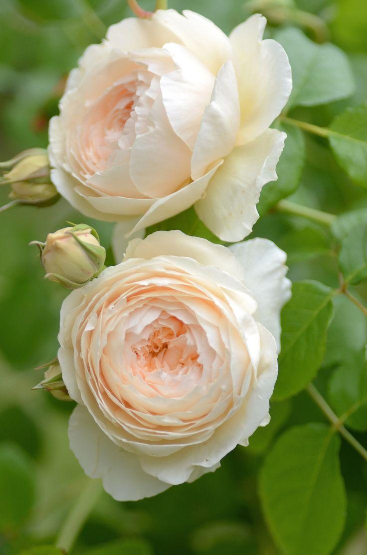 //'Windermere' | David Austin English Rose. Austin, 2006 | Flickr - © snowshoe hare #flowers
