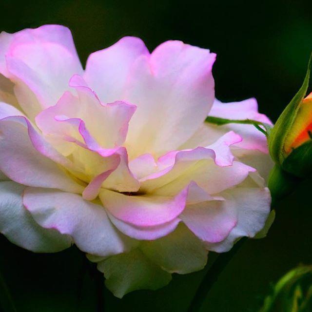 White rose. #flowers #whiteroses #whiterose #flower #photos #photography #photo…