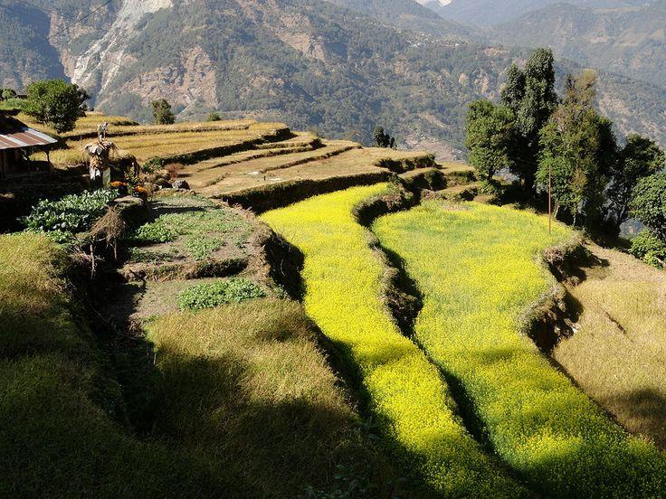 Rice fields in the Annapurna region.     #nepal #himalayas #hikingnepal