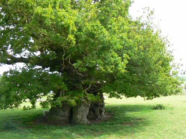 Bowthorpe Oak
