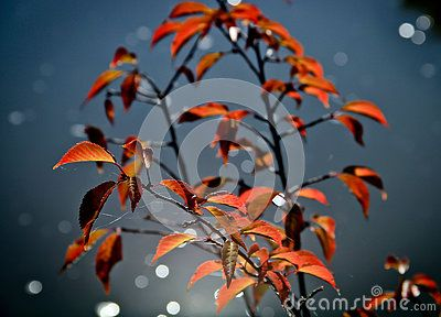 Beautiful red leaves in autumn , sunny day.