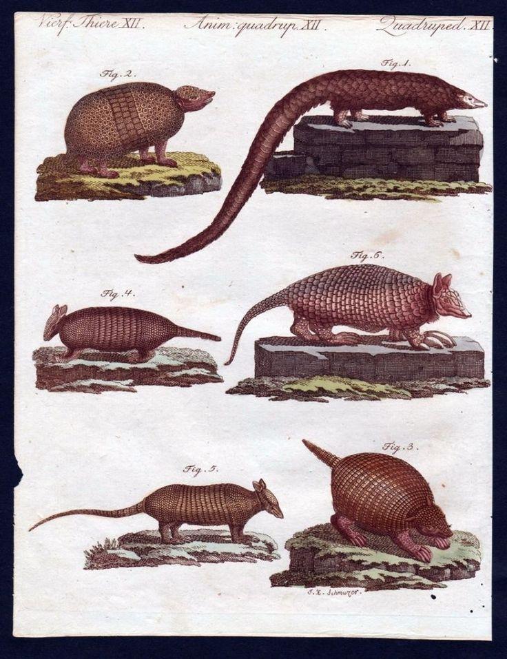 1806 - Schuppentier Gürteltier armadillo Kupferstich engraving Bertuch | eBay