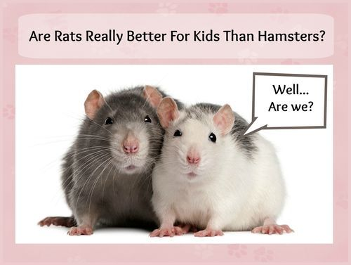 Pin by RatCentral on Rat Information Rats, Pet rats, Rat