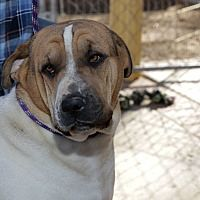 Pictures of Spooner the Crooner, Shar-Pei a Shar Pei/Halden Hound (Haldenstrover) Mix for adoption in Corona, CA who needs a loving home.