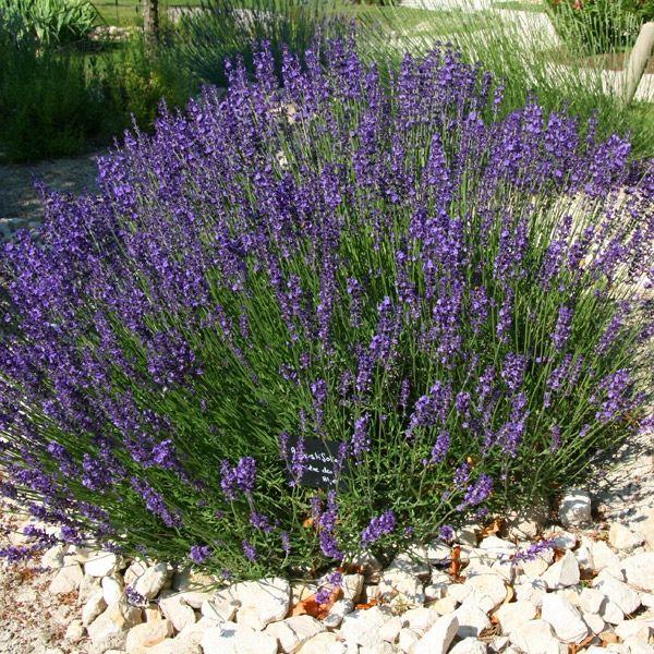 Lavandula angustifolia is beste soort voor haagjes volgens kwekerij Bastin