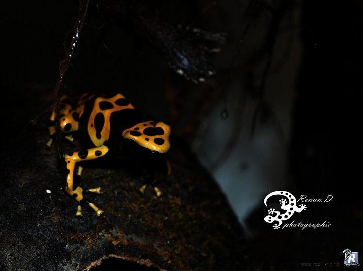 La Dendrobate leucomelas (femelle). Elle est souvent appelée rainette jaguar, grenouille tueuse ou grenouille vénéneuse.