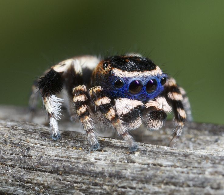 Peacock Spiders are Fucking Awesome. - Album on Imgur