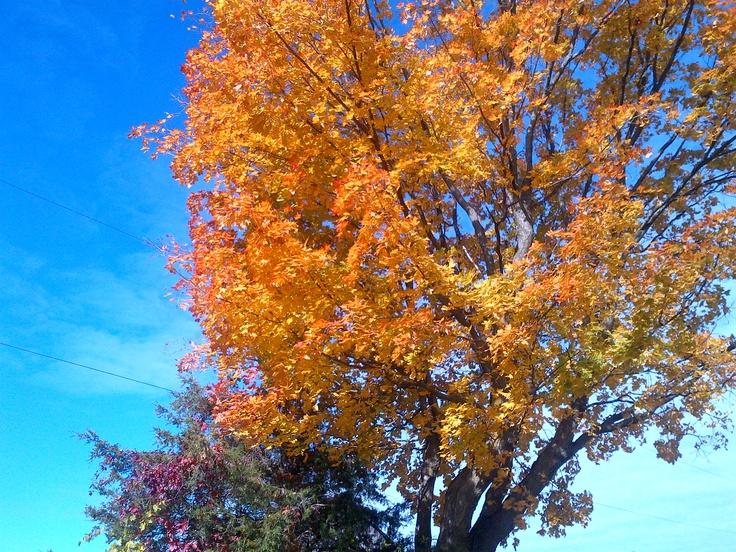 A Maple tree on Godolphin Road.