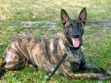 Brindle Holland Shepherd Dog | Re: Brindle GSDs?Brindle coloring in Shepherd breeds?