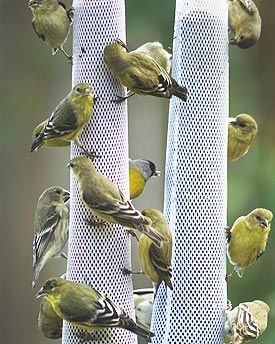 finches on thistle or nyjer socks