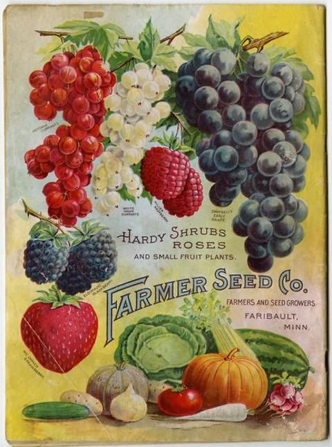 The colorful back cover of the Farmer Seed & Nursery catalog for 1905 features an assortment of berries and vegetables.  Surely if you purchased seeds from this catalog, such a bounty as depicted here could be yours!  Farmer Seed & Nursery originated in Faribault, MN in 1888. University of MN Andersen Horticultural Library hosts a collection of vintage Farmer Seed & Nursery catalogs.