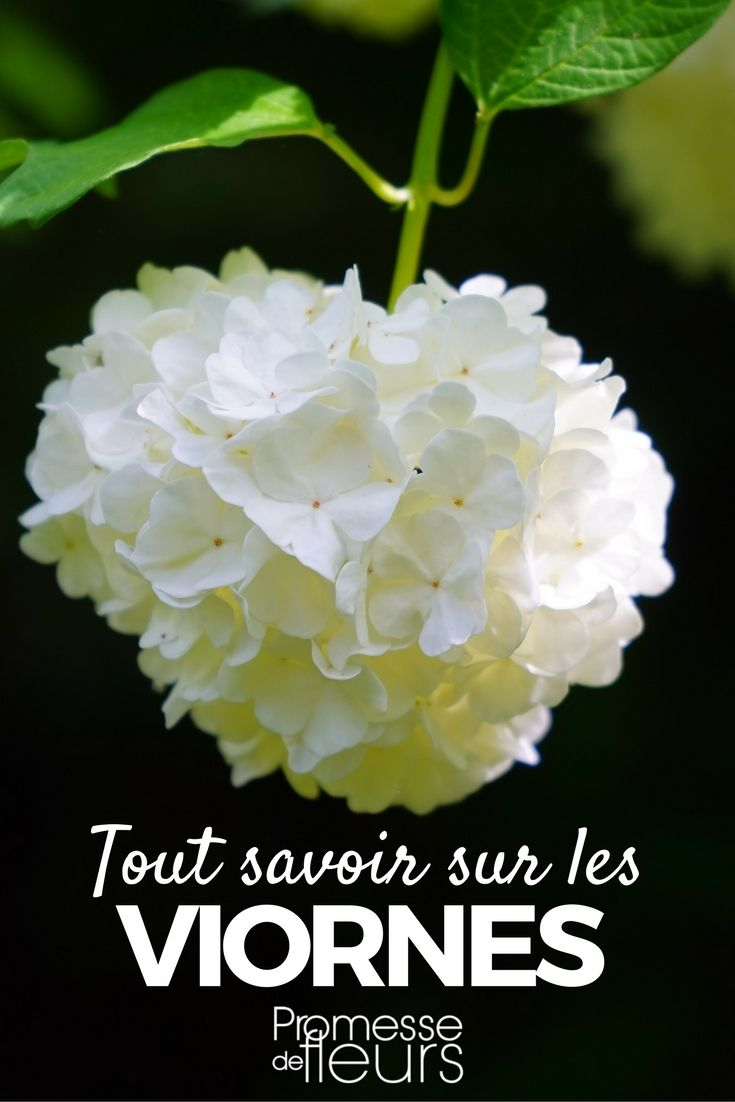 Les Viornes ou Virburnum sont des arbustes vigoureux à superbe floraison blanche, parfois rosé, en hiver ou printemps. Découvrez comment bien les cultiver, les tailler, les soigner. #arbuste #viorne #viburnum