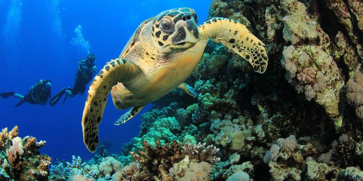 The hawksbill sea turtle is a critically endangered species. These sea turtles find a lot of their food in coral reefs, a vanishing and endangered underwater habitat. They lay their eggs on tropical beaches—but more and more of these beaches have been taken over for tourism and development. | The Human Impact | Kids Discover