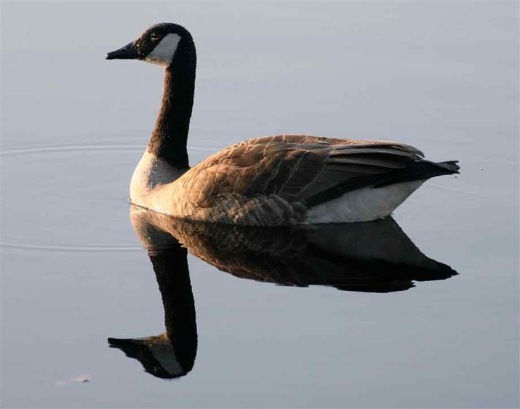 Picture of Canada Geese