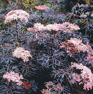 black lace elderberry -- need to find a place for one of these