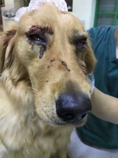 6/2/17 A Golden Retriever that had escaped from his airline carrier cage while traveling home sustained serious injuries after allegedly having been abused by airport staff. The disturbing incident occurred in the cargo area of a China Eastern Airlines flight originating from Shanghai; the dog is said to have escaped from his kennel and bolted across …