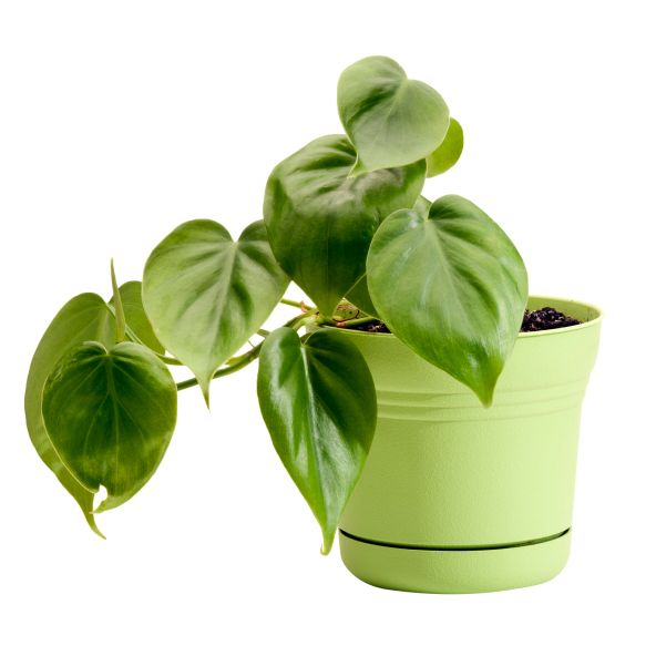 The sap from these houseplants can irritate your skin and mouth, resulting in throat swelling, breathing difficulties, burning pain, and stomach upset. Severe reactions are rare, but its still best to keep philodendrons away from kids and pets.   - HouseBeautiful.com