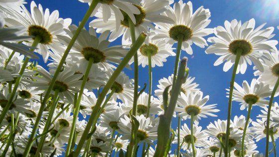 """Il fiore del """"m'ama non m'ama"""" ha molte proprietà benefiche: giova alla pelle, aiuta ad assorbire i traumi, favorisce la digestione e"""