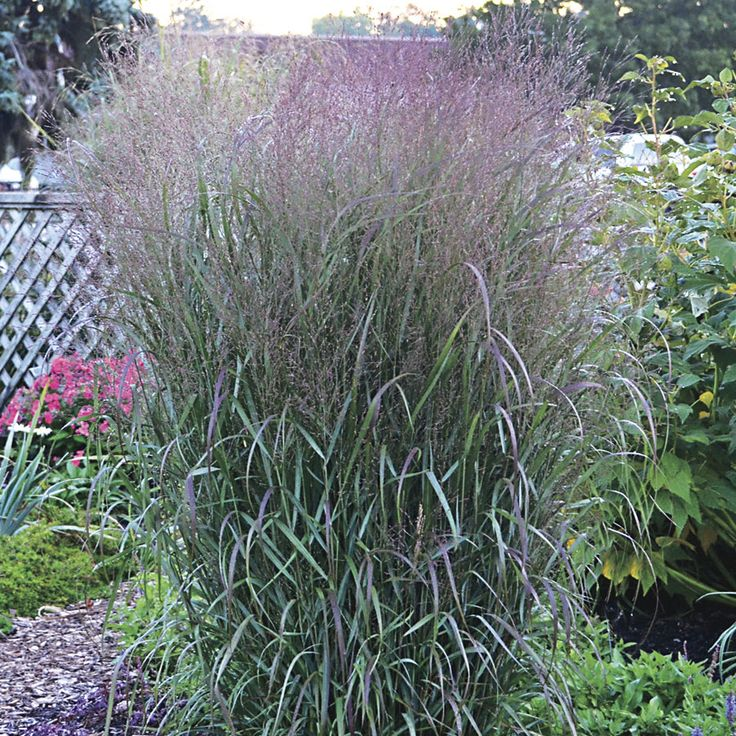 51 best images about grasses on pinterest sun for Ornamental grass that looks like wheat