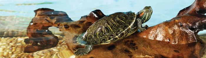Aquatic turtles, Turtles and Pets on Pinterest